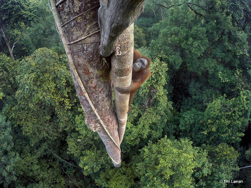 An endangered young male Bornean Orangutan climbs over 30 meters up a tree deep in the rain forest of Gunung Palung National Park, West Kalimantan, Indonesia (Island of Borneo). Photo by Tim Laman.